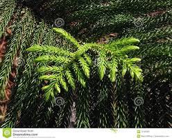araucaria heterophylla norfolk island pine star pine triangle