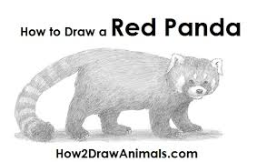 how to draw red panda jpg