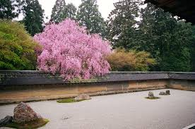 file cherry blossom at the rock garden of ryōan ji temple in kyoto