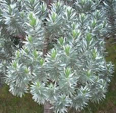 file silvertree leucadendron foliage cecilia forest cape town
