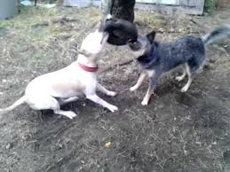 boxer x red cattle dog pitbull vs blue heeler youtube