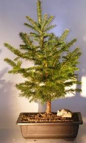 blue spruce bonsai tree for sale large picea pungens