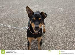 smal dog the spaniard mouser stock photo image 66849782