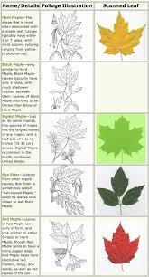 maple tree symbolism maple trees identification life and wildlife along the little