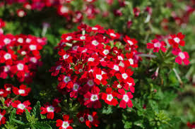 Verbena Flower 14 Easiest Annuals To Grow From Seed