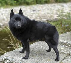 belgian sheepdog for adoption get to know the schipperke the little captain