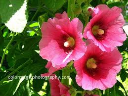 Hollyhock Flowers Charming Hollyhock Flowers Pictures