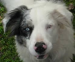 australian shepherd eyesight aussie eye defects