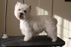 images of westie hair cuts dog groomer s blog coquitlam aviva dogspaw dog grooming coquitlam