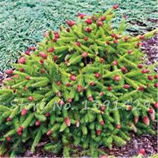 climbing tree spruce seeds tropical ornamental plants bonsai seeds