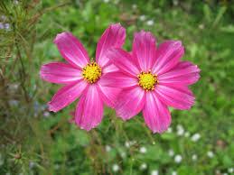 www flowers flowers photo wedelia trilobata