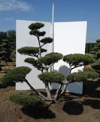 Topiary Cloud Trees - topiary luxuary specimens pinus mugo mugo bonsai 200 225 cm rb pg