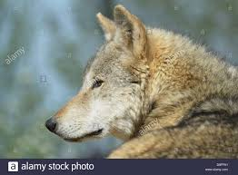 side on of a eurasian wolf canis lupus lupus stock
