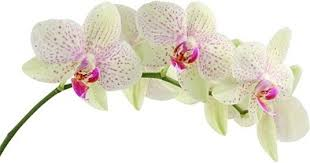 orchid flowers orchid flower images free stock photos 11 264 free stock