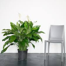 peace lilly peace in 10 grower s pot my city plants