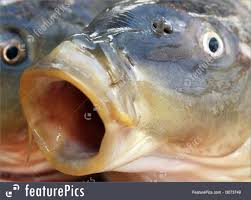 picture of carp fish big mouth