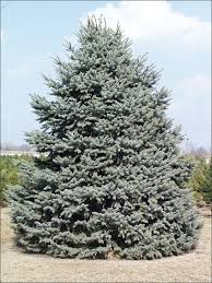 isu forestry extension tree identification colorado blue spruce