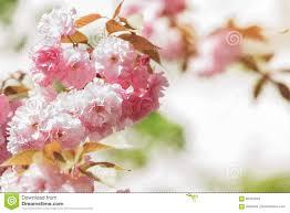 pink japanese sakura tree blooming in spring stock photo image