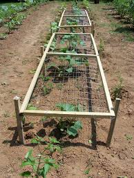 campus crops pruning and trellising more stuff cucumbers summer