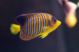 free stock photo 1210 royal angel fish 1455 jpg freeimageslive