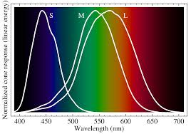 cone cells cone cells are at the heart of our color perception