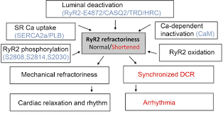 the role of luminal ca regulation in ca signaling refractoriness