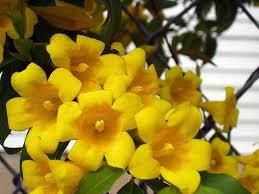 Jasmine Flowers Side Effects Of Eating Jasmine Flowers Hunker
