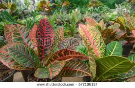 croton plant stock images royalty free images vectors