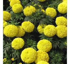 Flower Seeds Online - buy marigold f1 inca yellow 10 seeds online at cheap price