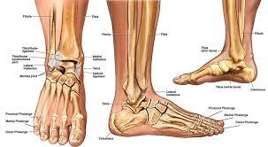 Calcaneus Anatomy Ankle Anatomy Sprain Clinical Anatomy Fracture Radiology X Ray