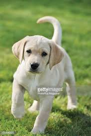 yellow labrador retriever stock photos pictures getty images