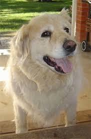 australian shepherd x golden retriever aussiedor dog breed information and pictures
