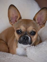 australian shepherd mixed with chihuahua 10 unreal french bulldog cross breeds you have to see to believe