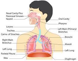 Anatomy Of Human Body Organs Anatomy Of The Respiratory System