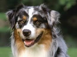 australian shepherd with blue eyes eyed australian shepherd puppies picture