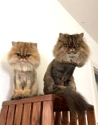 1st lion cut for my persian cats meow lifestyle