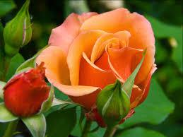 beautiful orange colour roses flowers hd wallpapers