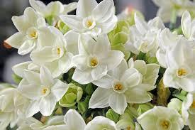 Ideas For Daffodil Varieties Design Narcissus Papyraceus U0027ziva U0027 Tazetta Daffodil