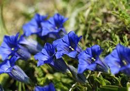 blue rock garden plants blue perennial flowering plants personally