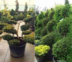 Topiary Cloud Trees - conifers for shade buy online uk