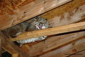 pgc releases bobcat back into the wild gantnews com