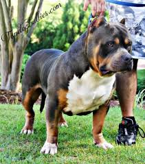 american pitbull terrier for sale ohio xxl biggest best extreme pitbulls american bully breeder kennel