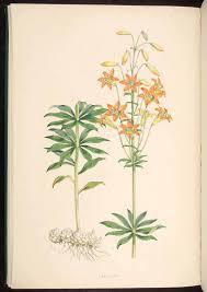 native nevada plants sierra tiger lily lilium parvum native to the sierra nevada of