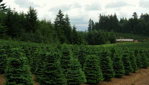 what the farm bill tucked beneath northwest christmas trees