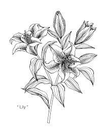Fabuloso Ilustração Do Desenho Da Flor Do Lírio R Ilustração Stock  &YX36
