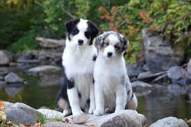 australian shepherd family dog laurelhills australian shepherds home