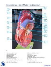 Anatomy Of Human Heart Pdf Inside View Of Intermediate Heart Model Human Anatomy Handout