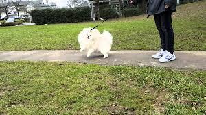american eskimo dog apartment american eskimo dog my best friend youtube