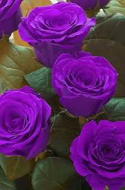 purple roses what you need to about the purple bush serenity secret