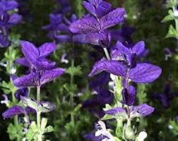 Salvia Flower Blue Salvia Seeds Etsy
